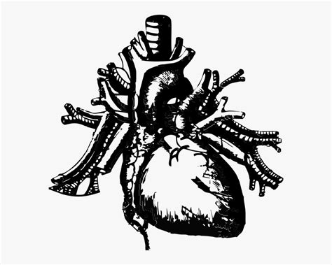 Image Of An Anatomical Heart - Real Heart Transparent