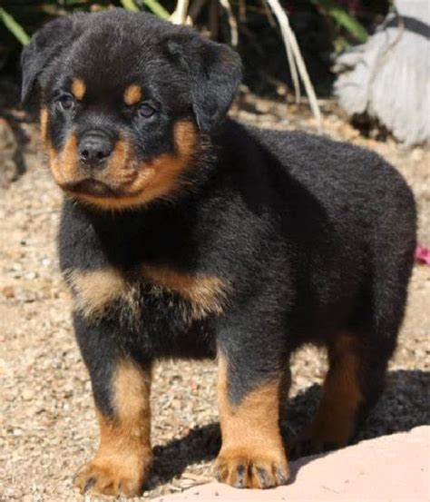 Rules of the Jungle: German Rottweiler puppies