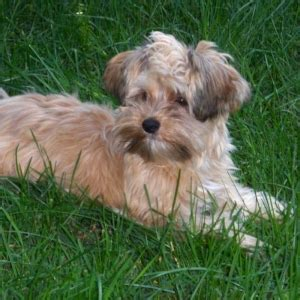 Morkie Puppies for Sale and Breeders - Animaroo