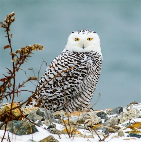 Five tips for respectfully viewing snowy owls at Sachuest