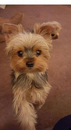 Yorkie Poo Haircuts Styles Pictures   All Creatures Great