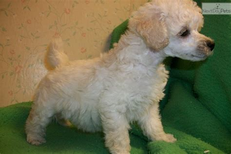 Mikki: Poodle, Toy puppy for sale near Long Island, New
