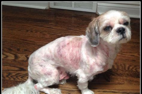 Fundraiser by Judianne Keep : Quincy the Shih Tzu needs
