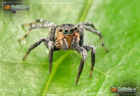 North American Jumping Spider