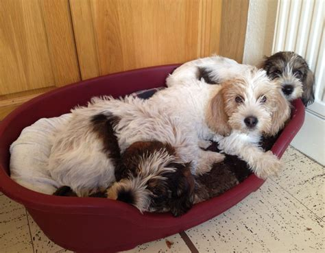 Petit basset griffon vendeen puppies for sale   Wirral