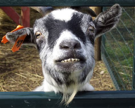 14 Goat Eyes to Weird You Out