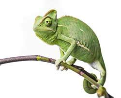 Chameleon definition and meaning   Collins English Dictionary