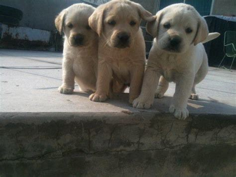ANIMAL COLLECTION: labrador puppies for sale — Lahore