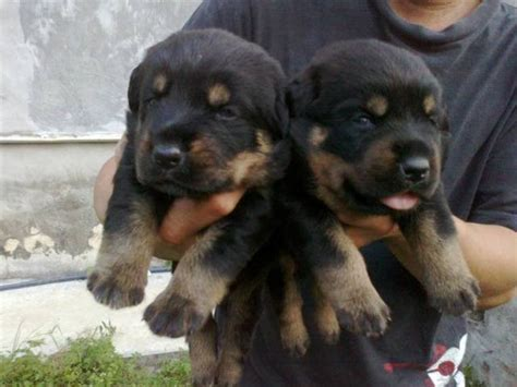 rottweiler puppies FOR SALE ADOPTION from Selangor Puchong